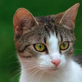 Unsauberkeit und Harnmarkieren bei Katzen – Krankheit oder Verhaltensauffälligkeit? | Verbandszeitschrift IV/2017